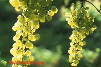 Виноград Глера