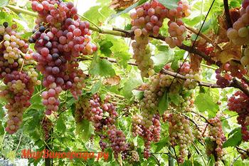 Виноград Голд Кишмиш
