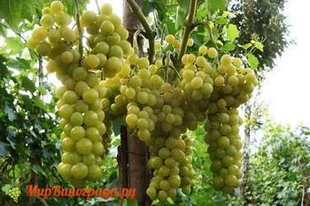 Виноград Королева Виноградников