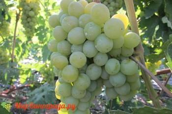 Виноград Леда