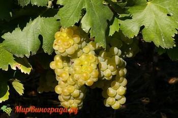 Виноград Мускат Италии
