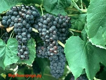 Виноград венус