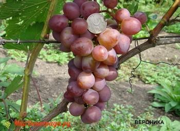 Виноград Вероника