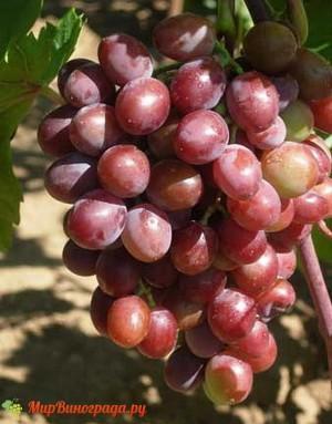 Виноград Вишенка