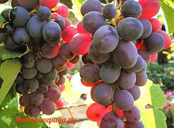 Виноград Волжский