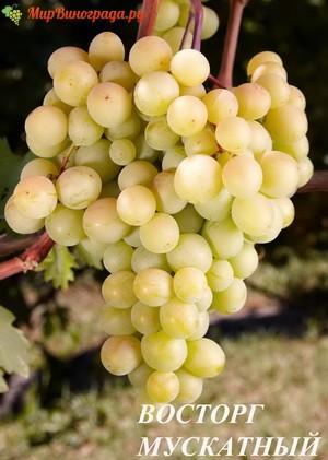 vinograd-vostorg-muskatnyj