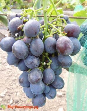 Виноград Заветный