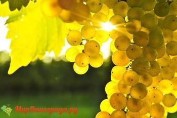 Виноград Желтый