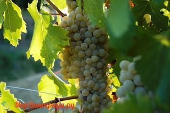 Виноград Грекетто