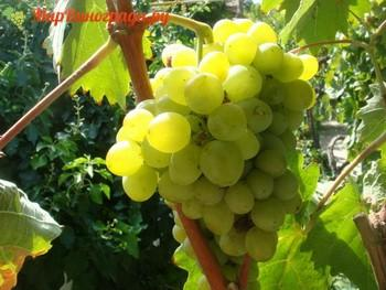 Виноград Май