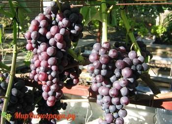 Виноград Мускат Красный сверхранний