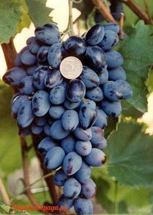 Виноград Осенний Черный