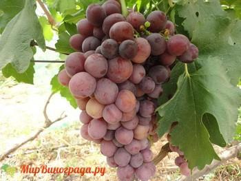 Виноград Персия