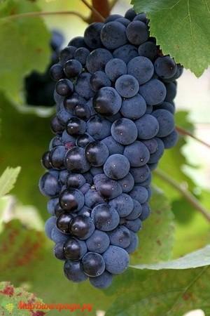 Виноград Пино черный