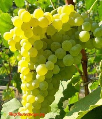 Виноград Ромулус