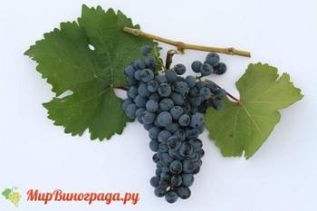 Виноград Рубин АЗОС