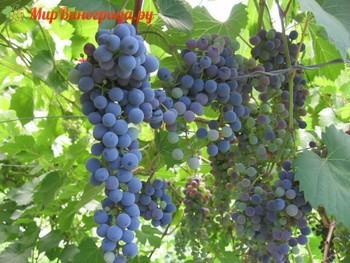 Виноград Сент Кру