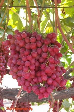 Виноград Скарлет