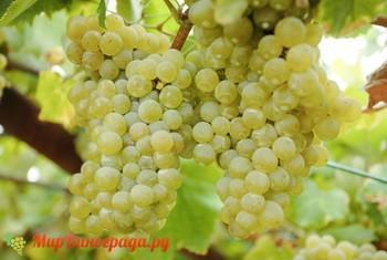 Виноград Сурученский белый