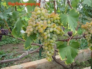 Виноград Устойчивый Докучаевой