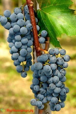 Виноград Шабреву
