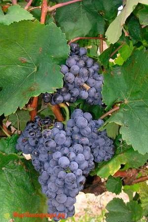 Виноград Эким Кара