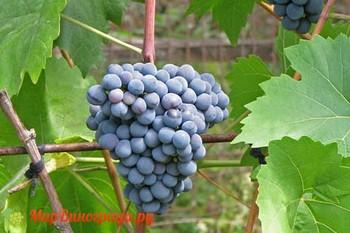Виноград Эстер