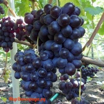 Виноград Юлия