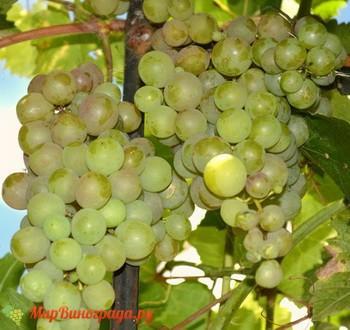 Виноград Яблочный