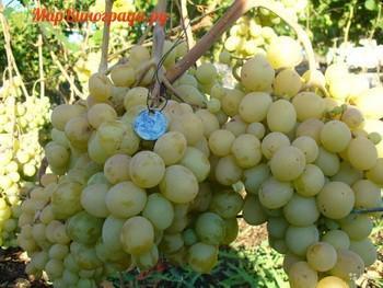 виноград родничок Таирова