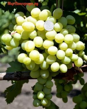 виноград родничок павловского