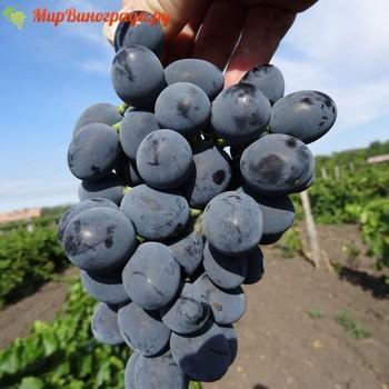 сорт Винограда Южный