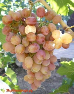 Виноград Снегирь