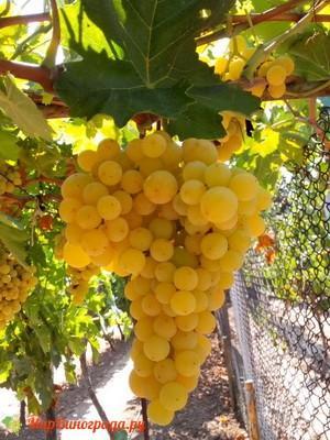 Виноград Армира