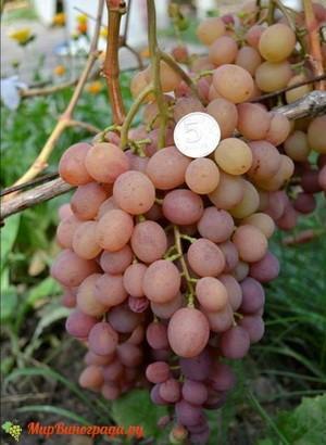 Виноград Эва