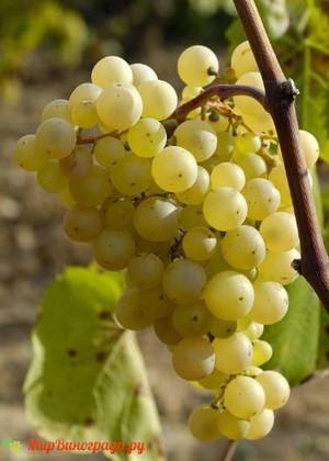 Виноград Феникс