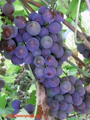 Виноград Конкорд