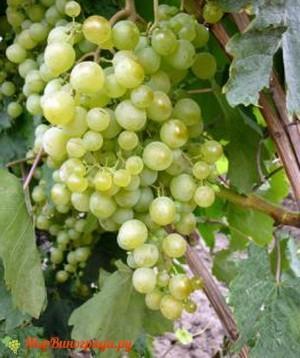 Виноград Краса севера