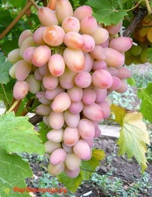 Виноград Лучезарный