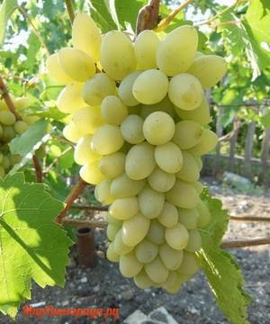 Виноград Ляна