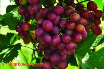 Виноград Малиновый