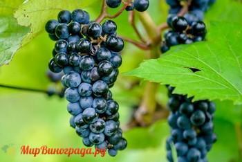 Особенности винограда маршал фош