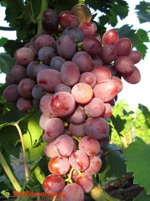Виноград Мастер