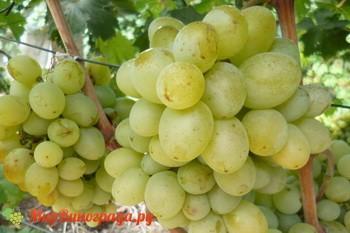 Виноград Молочный