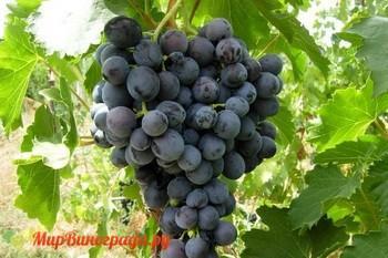Виноград Мускат Кубанский