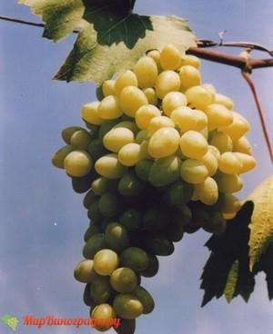 Виноград Мускат Ливадия
