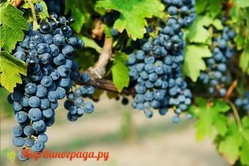 Виноград Одесский черный