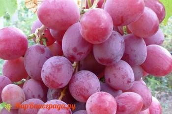 Виноград Одиссей