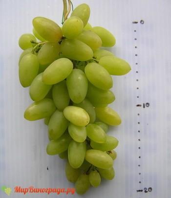 Виноград Песня