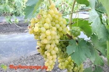 Виноград Пламя